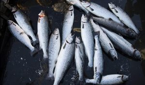 AtlanticSalmon-e1504048126863-300x176